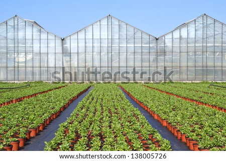 The poppy or somniferum in voorschoten is a grower plants ready to go to the centre to be transported if they on cultivation. - stock photo