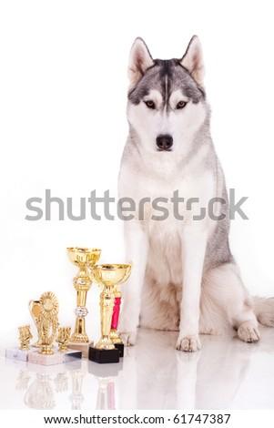 the portrait of beautiful siberian husky - stock photo