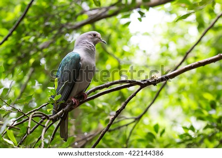 The portrait of Emerald Dove(Green-winged Pigeon) bird