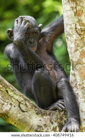The portrait of juvenile Bonobo on the tree in natural habitat. Green natural background. The Bonobo ( Pan paniscus), earlier being called  the pygmy chimpanzee. Democratic Republic of Congo. Africa - stock photo