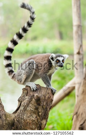 The portrait of Lemur (Lemuriformes) on the tree - stock photo