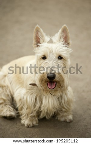The portrait of Scottish Terrier