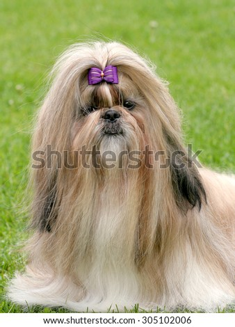 The Portrait Of Shih Tzu In The Garden
