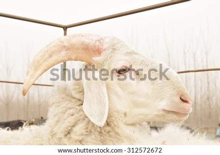 The portrait of the sheep  - stock photo