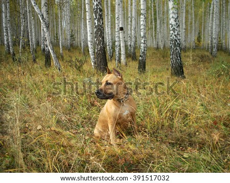 the portrait the American Staffordshire terrier has a rest on glade against the birch wood fall Russia South Ural - stock photo