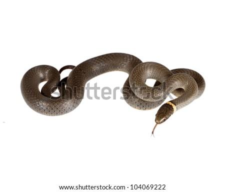 The Prairie Ring-necked Snake (Diadophis punctatus Arnyi)  isolated on a white background - stock photo