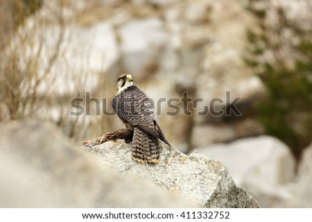 The Predator is the human care and was photographed in the Czech Republic. Lanner Falcon (Falco biarmicus) is a large bird of prey living in Africa, southeastern Europe and Asia. - stock photo