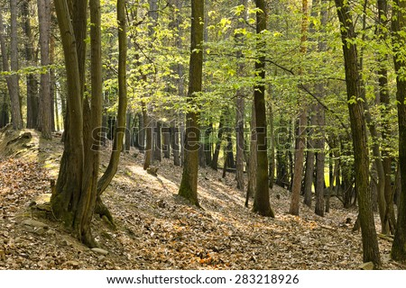 The primeval forest with foliage on the ground - stock photo