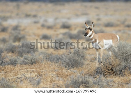 The pronghorn antelope is a fairly common sight in the western plains. - stock photo