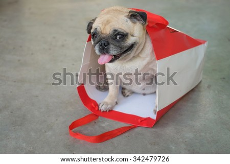 The pug dog in the paper bag.