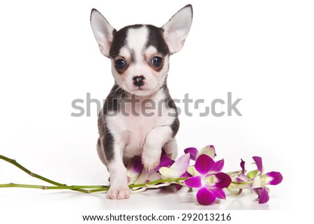 The puppy chihuahua and flowers (isolated on white) - stock photo
