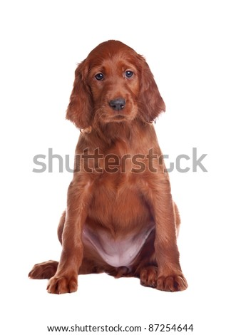 The puppy of a setter is removed on white background in studio - stock photo