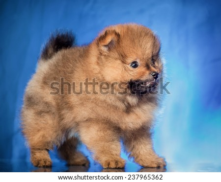 The puppy of the spitz-dog - stock photo