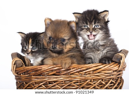 The puppy of the spitz-dog with a kittens - stock photo