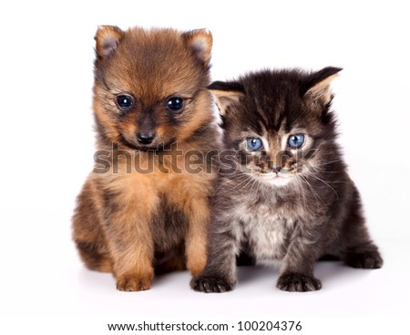 The puppy of the spitz-dog with and  kitten - stock photo