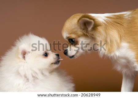 The puppy spitz-dog and chihuahua