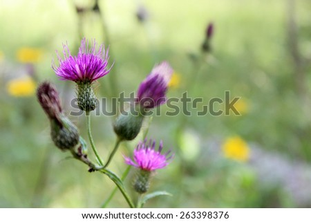 The purple blossoms of the native midwestern USA wildflower Tall Thistle, Cirsium altissimum, blooms over a blurred green background with blurred yellow wildflowers. - stock photo