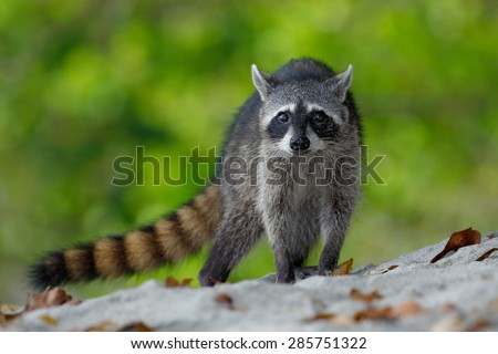 The Raccoon, Procyon lotor, walking on white sand beach in National Park Manuel Antonio, Costa Rica - stock photo