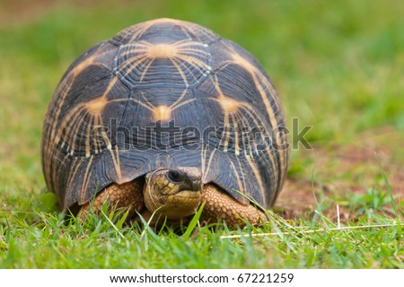 The radiated tortoise, endemic turtle from south of Madagascar - stock photo