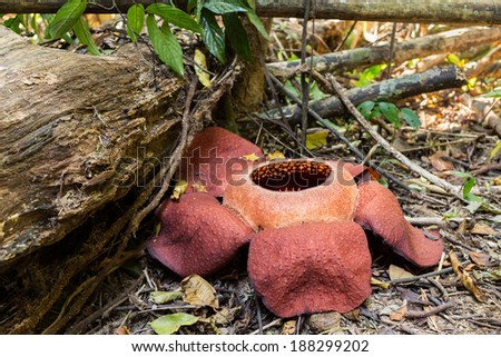 The Rafflesia kerrii is the biggest flower in the world, found in Khao Sok national park, Thailand - stock photo