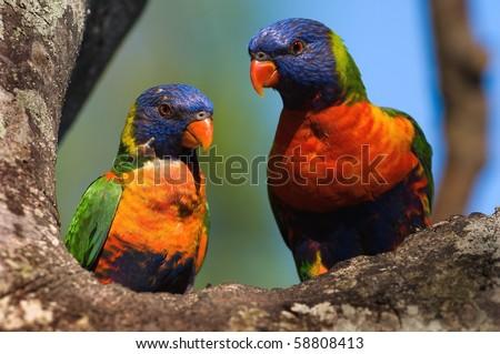 The Rainbow Lorikeet, Trichoglossus haematodus is a species of Australasian parrot found in Australia, Indonesia , Papua New Guinea, New Caledonia, Solomon Islands and Vanuatu. - stock photo
