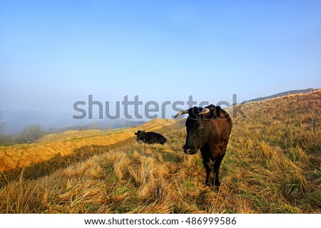 The rare breed of Gloucester cattle winter grazing and resting on a misty Painswick Beacon in the soft early light of sunrise, The Cotswolds, Gloucestershire, England, UK