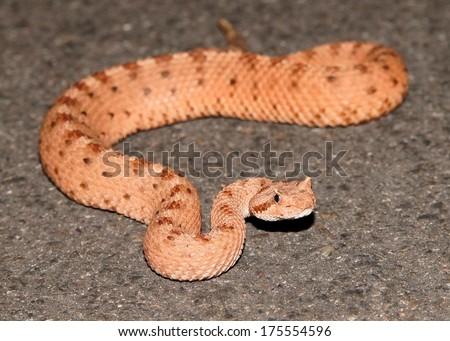 The rare pink phase of the Mojave Sidewinder, Crotalus cerastes - a snake that moves through the sand sideways (macro focus on head) - stock photo