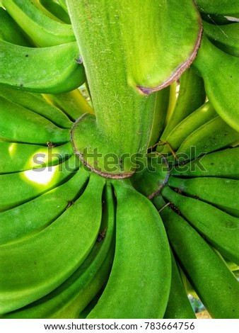 the raw banana fruit on its plant