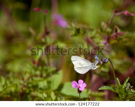 The real's wood white (Leptidea reali) visiting a heartsease for its nectar, Uppland, Sweden
