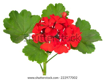 The red bloom from a geranium with leaves isolated on white background - stock photo