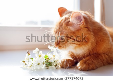 The red cat smells a bouquet of cherry flowers. Cozy spring morning at home. Cute background with place for text. - stock photo