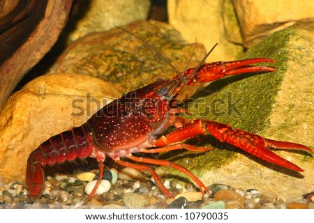 the red crawfish in aquarium near pink stones - stock photo