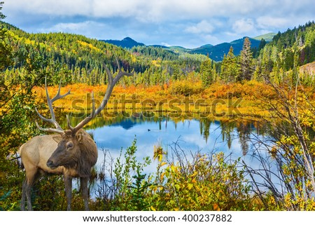 The red deer with branchy horns has a rest at the lake among a grass. Warm autumn day in park Jasper, the Rocky Mountains of Canada - stock photo