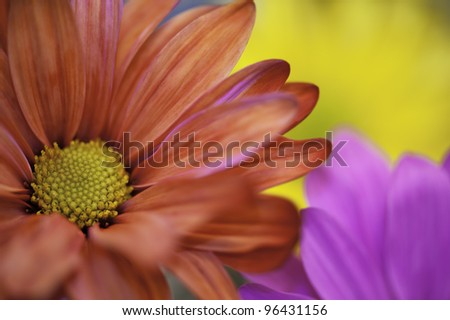 The Red Flower Red Daisy with other colored flowers as background. - stock photo