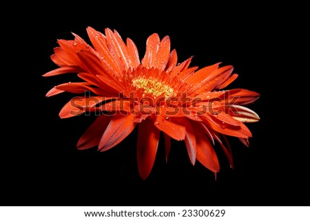 the red gerbera is against the black background