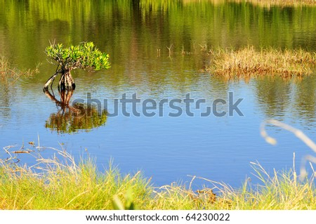 The red mangrove tree (Rhizophora mangle) is recognized by it's tall arching roots, called prop roots. It provides shelter for small fish and protects the coastal areas near salt water from erosion. - stock photo