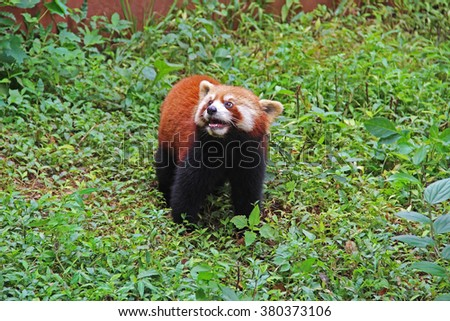 The Red Panda, Fire fox in Chengdu, China - stock photo