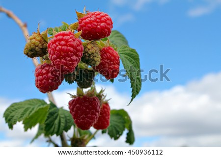 The red ripe raspberry on the blue sky background - stock photo