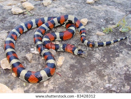 The red, white and black, Central Plains Milk Snake, Lampropeltis triangulum gentilis, a coral snake mimic - stock photo