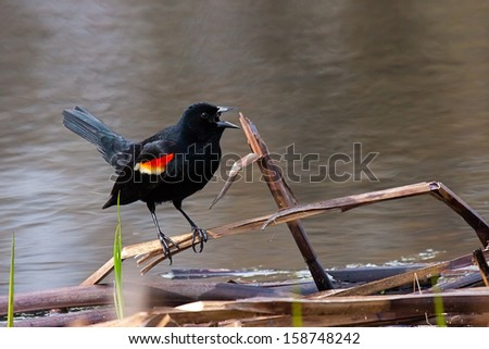 The red winged blackbird precariously balances itself on a fallen reed at the shore of a pond. Its bold orange and yellow wing feathers are prominently displayed as it screeches a warning song. - stock photo