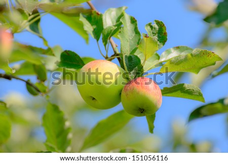 The red-yellow apples on the tree - stock photo