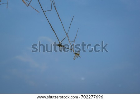 The reflection on the water surface of a dragonfly resting on a branch.. Rhyothemis phyllis phyllis