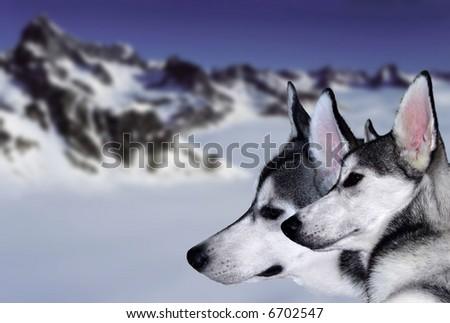 The reliable and loyal Siberian Husky, sled and working dog - stock photo