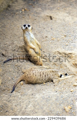 The restful and watchful meerkats,  Florida, America.  - stock photo