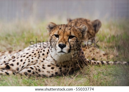 The resting cheetah