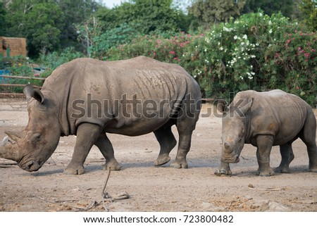 The rhinoceros (Rhinocerotidae) in Safari park Ramat Gan, Israel