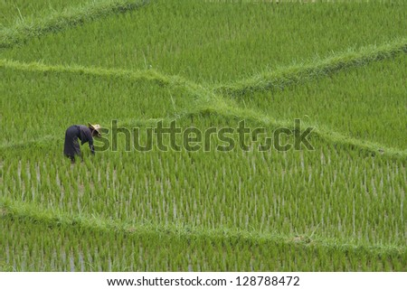 The rice field