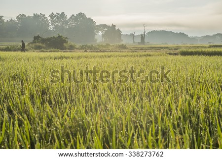 The rice field with golden sunlight in the morning.Nan province,North Thailand.