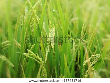 the rice plant during flowering - stock photo