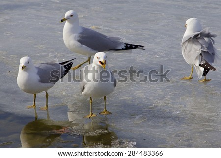 The ring-billed gull is upset